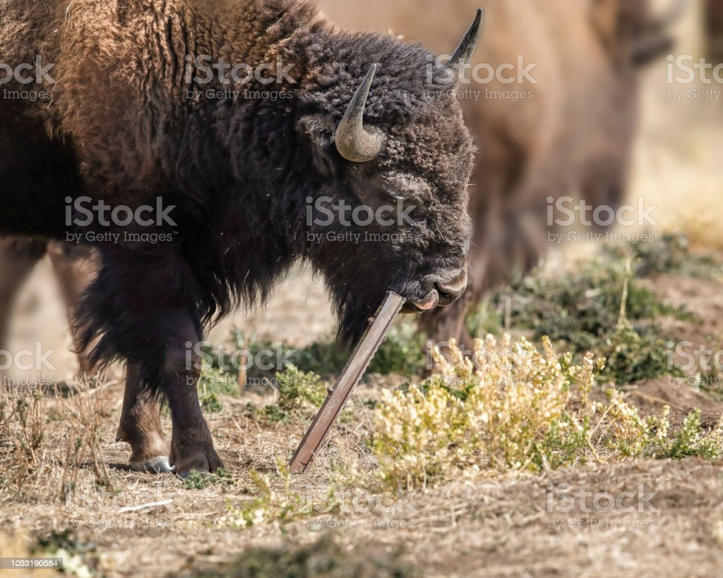Bison really got after this metal  post stock photo