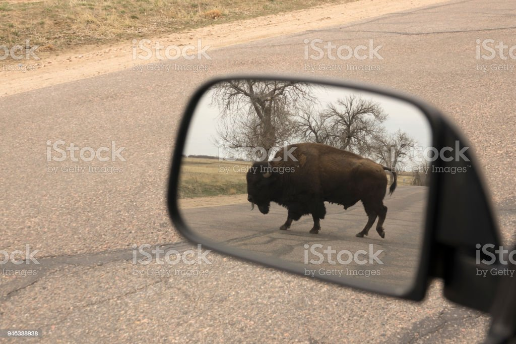 Bison rear view mirror Rocky Mountain Arsenal National Wildlife Refuge Colorado stock photo