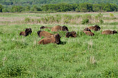 A group of wild Bison rest in the native prairie.