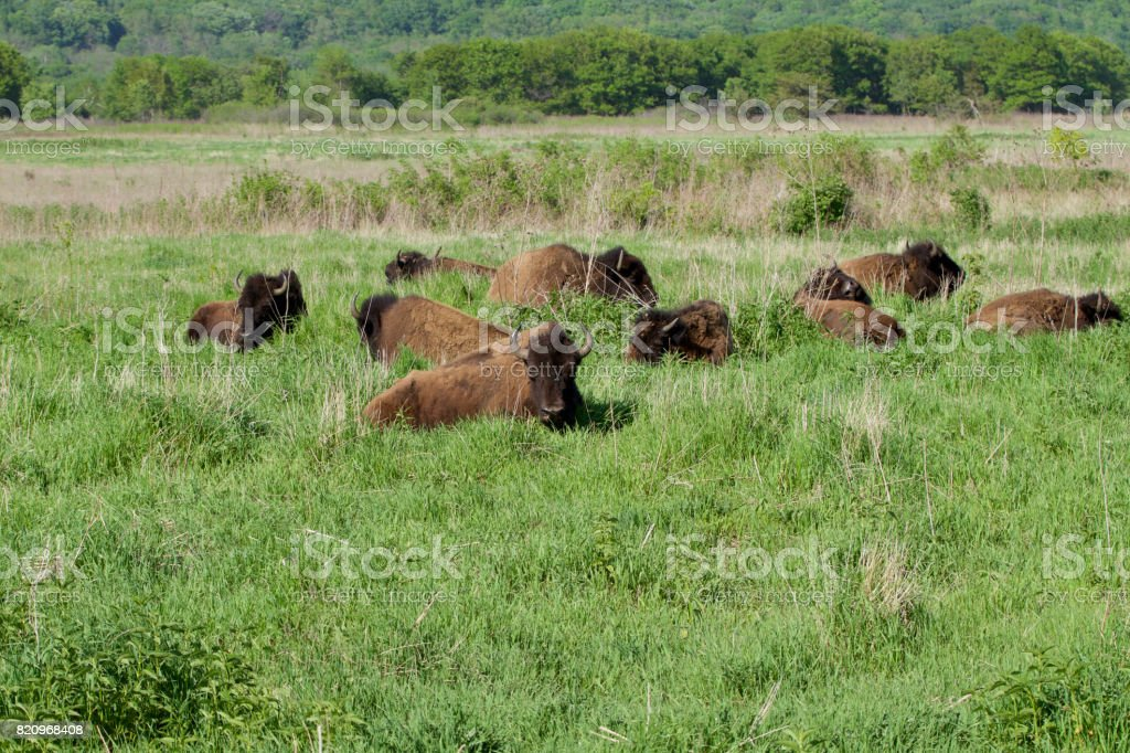 Bison Resting on the Plains stock photo