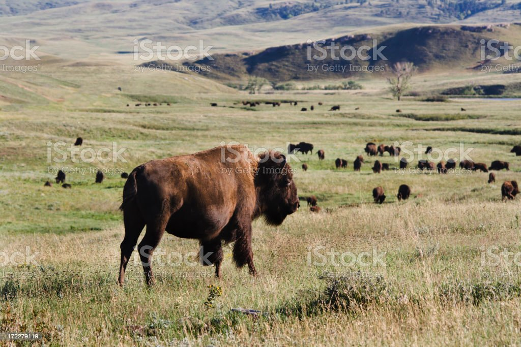 Bison Roaming on the Prairie stock photo