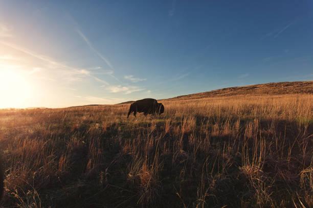 bison roaming bildbanksfoto