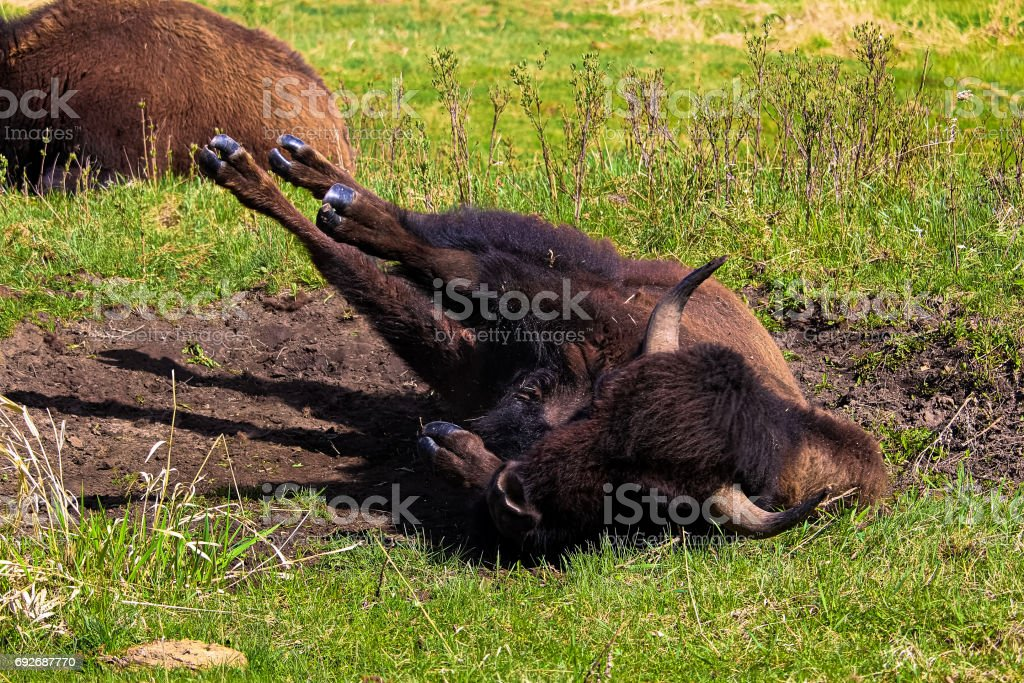 A bison rolling in a wallowing pit stock photo