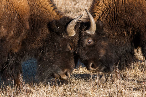 Bison sparring stock photo