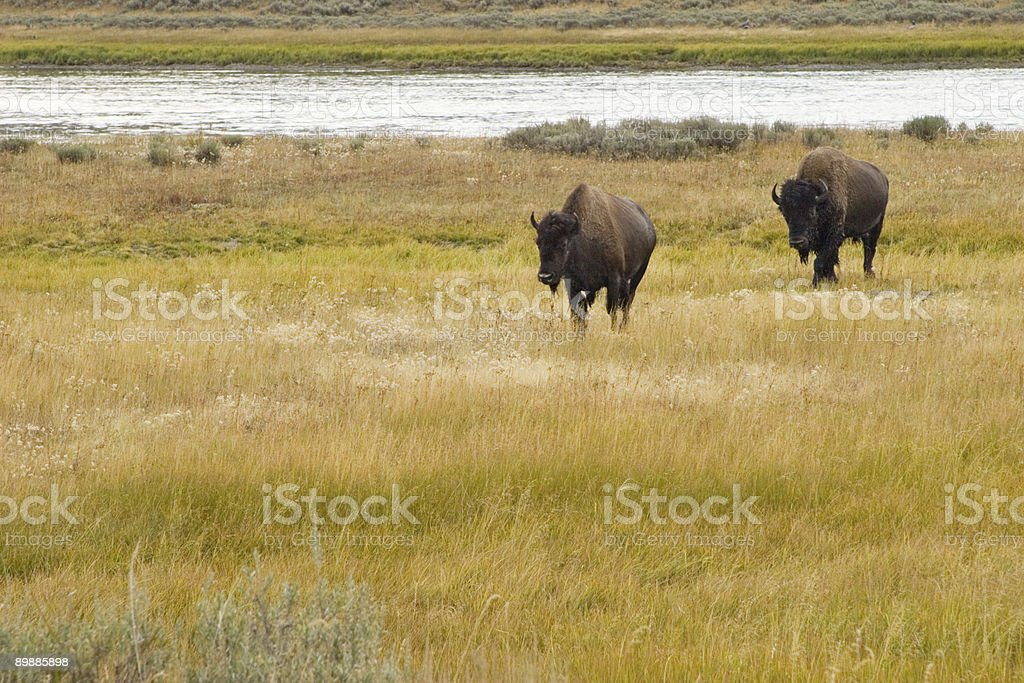 Bison stroll royalty-free stock photo