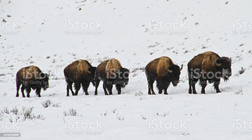 Bison Traveling in Winter stock photo