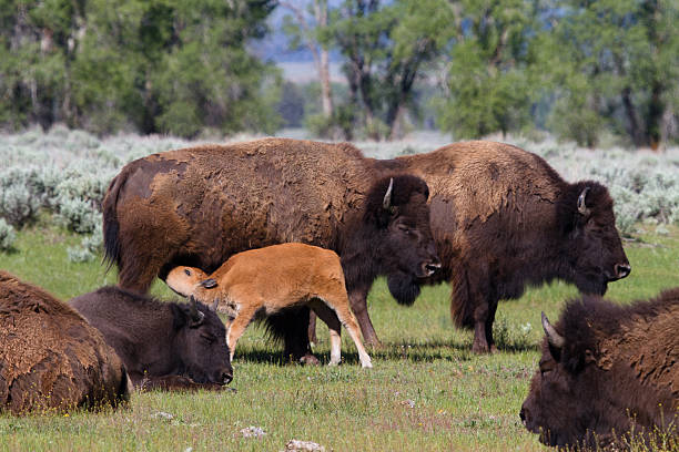 Bison V stock photo