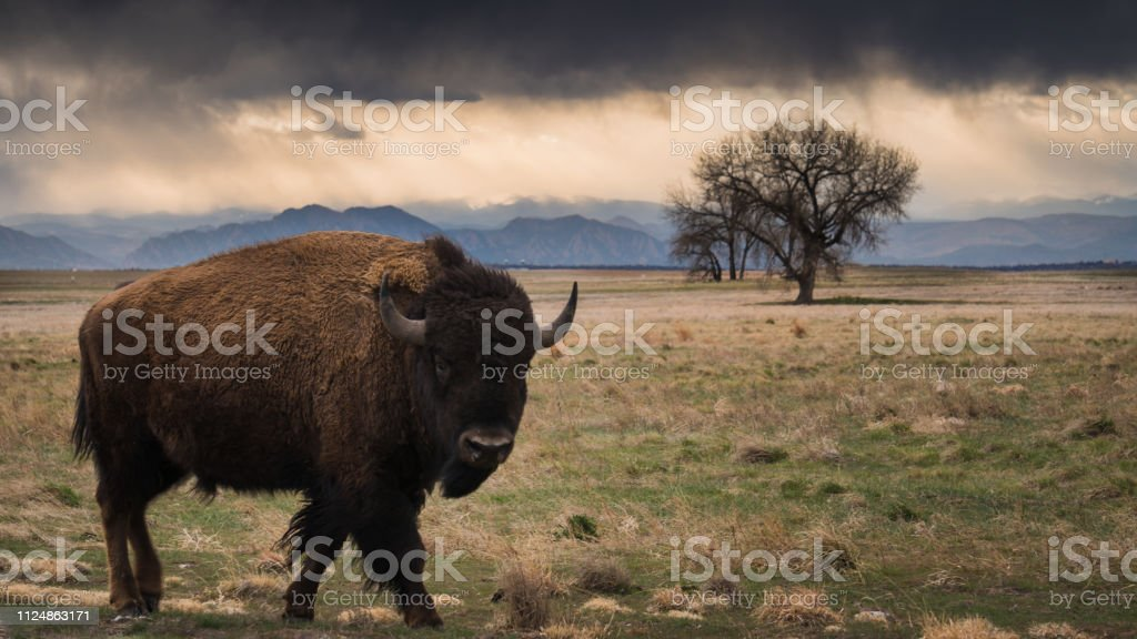 Bison walking in the prairie stock photo