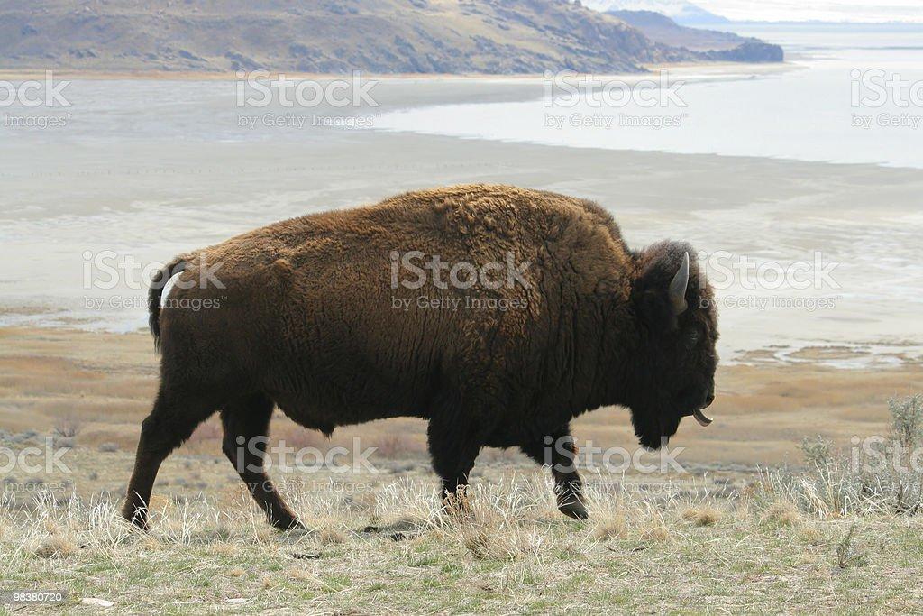 Bison Walking royalty-free stock photo