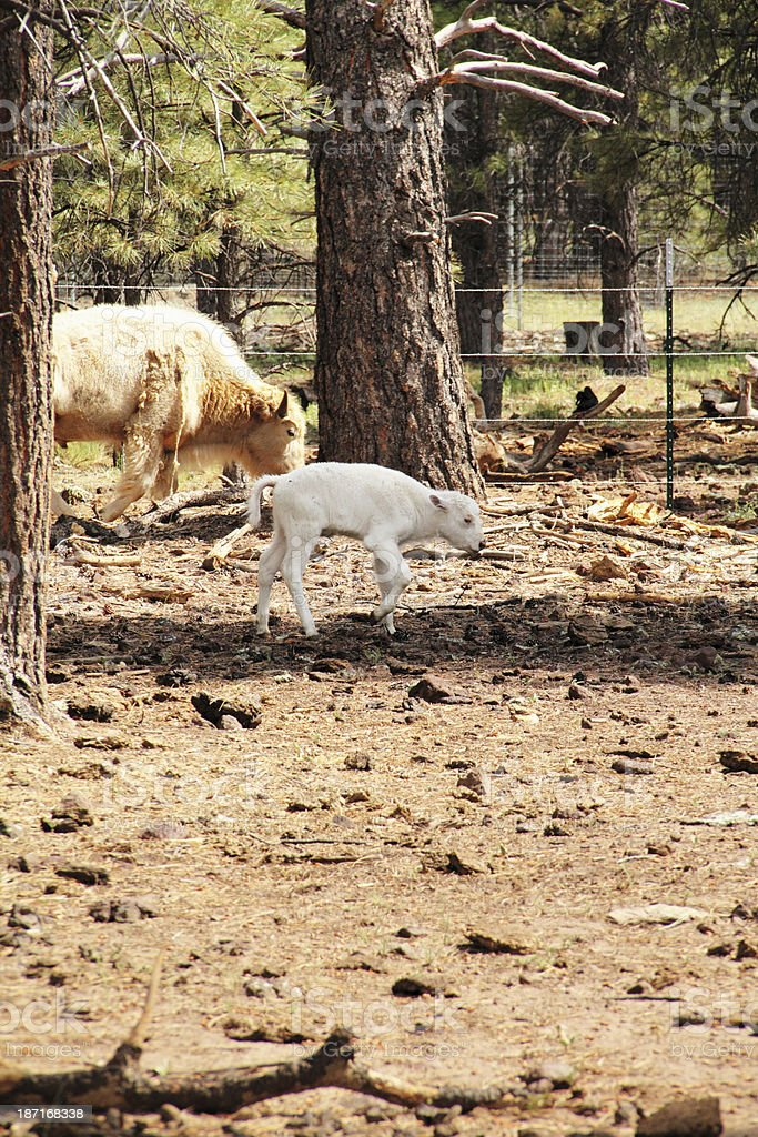 Bison White Mother Calf royalty-free stock photo