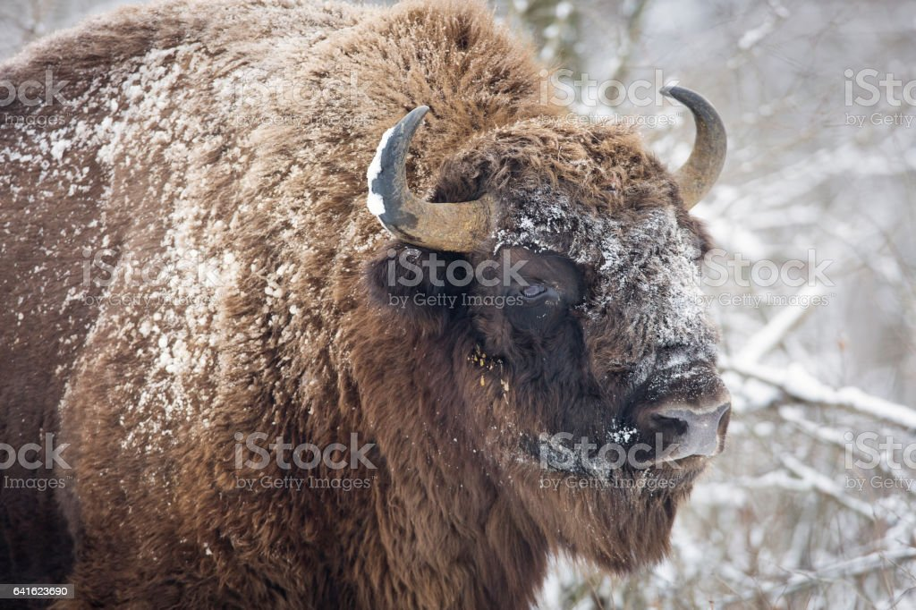 Bison winter day in the snow stock photo