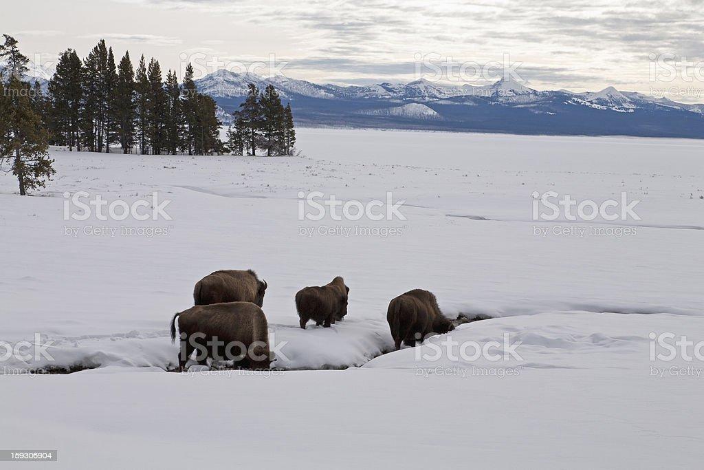Bison, Winter, Yellowstone NP stock photo