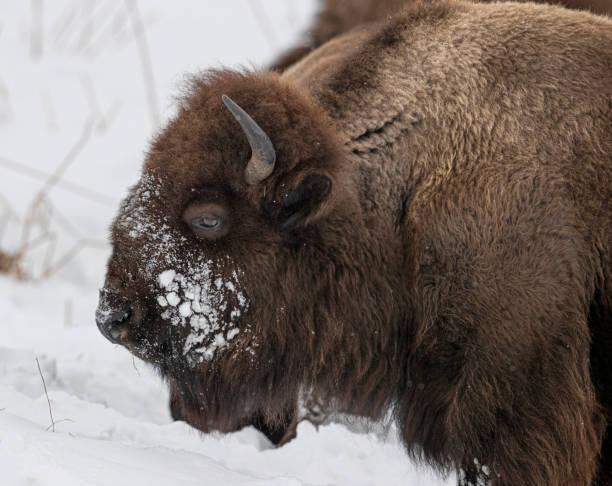 Bison Yellowstone January 2020 stock photo
