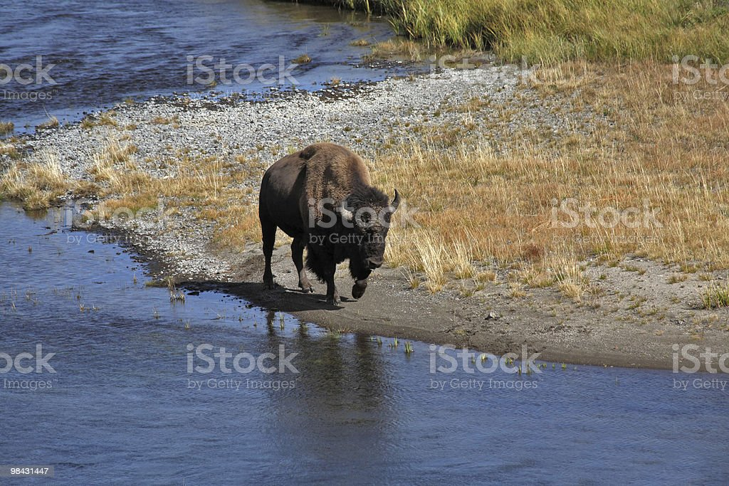 Bisons go on a watering place royalty-free stock photo