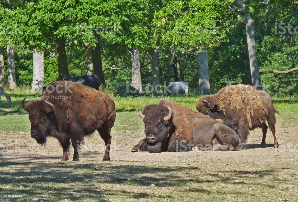 bisons - Photo