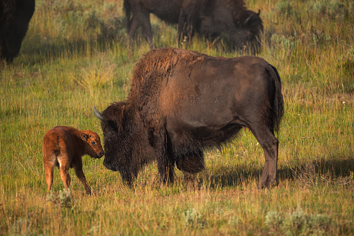 istock Bisons with young calfs on field in Yellowstone National Park 981893288