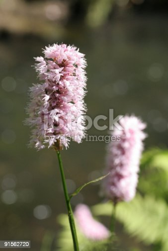 Close up view of a persicaria bistorta ,  flower