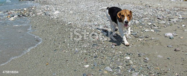 female beagle dog running by the sea