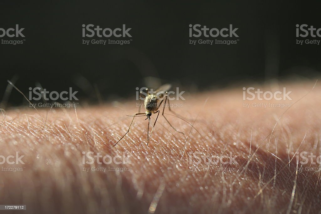 Biting Mosquito royalty-free stock photo