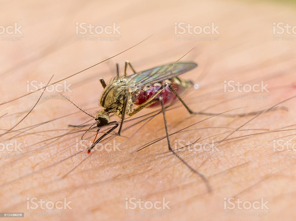 Biting Mosquito Stock Photo & More Pictures of Zika Virus - iStock Macro of biting mosquito on the human arm - 웹