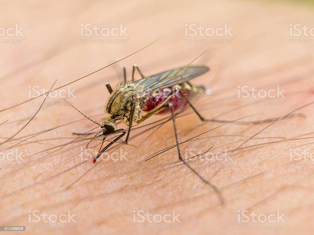 Biting mosquito stock photo