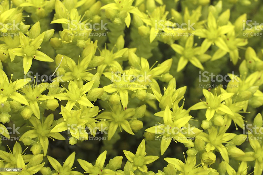 Yellow Star Shaped Flowers Of Biting Stonecrop Sedum Acre Stock