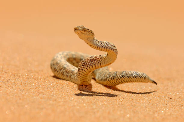 Bitis peringueyi, Péringuey's Adder, poison snake from Namibia sand desert. Small viper in the nature habitat, Namib-Naukluft Park in Africa. Wildlife scene from nature, reptile behaviour, sunny day. stock photo