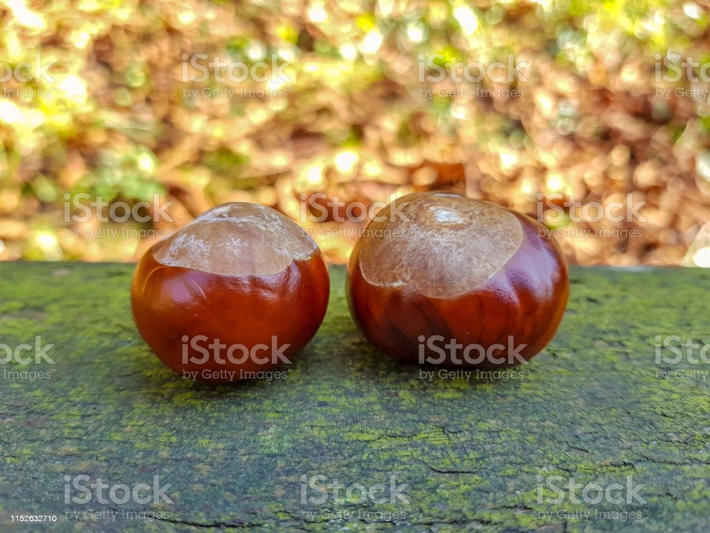 Bitter chestnuts resting on a smooth stone with a blurred background...