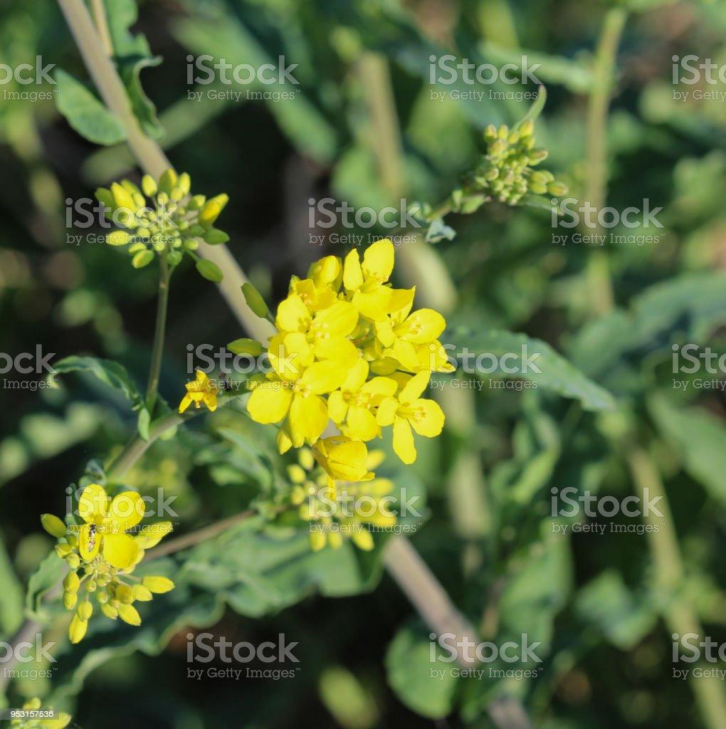 Bittercress Herb Barbara Yellow Rocketcress Or Winter Rocket