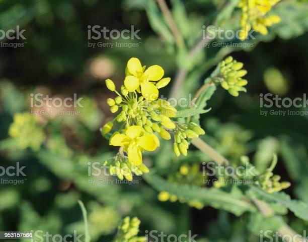 Bittercress herb barbara yellow rocketcress or winter rocket blooming picture id953157566?b=1&k=6&m=953157566&s=612x612&h=ba4y l2ilqqlluexsgxdudm3jrsudapij9ingjuasrw=