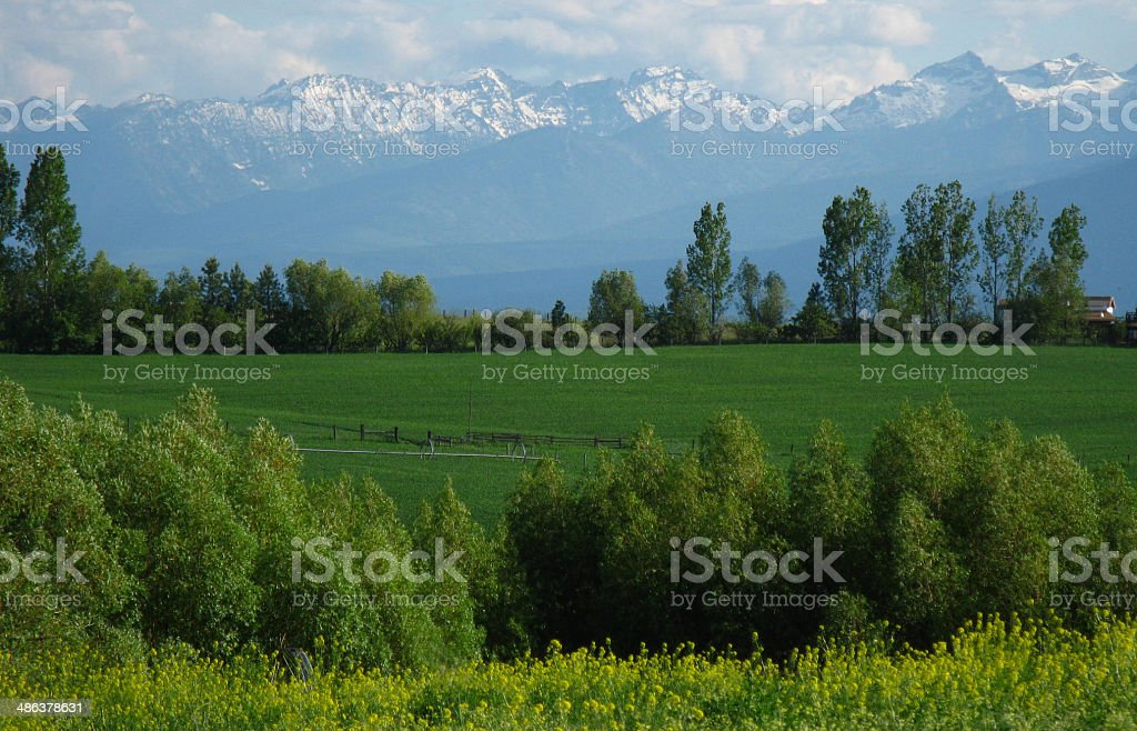 Bitterroot in the Spring stock photo
