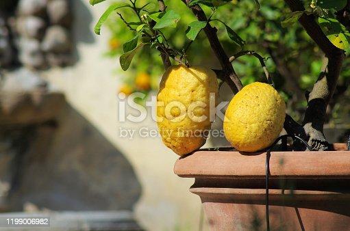istock bizarre lemon plant 1199006982