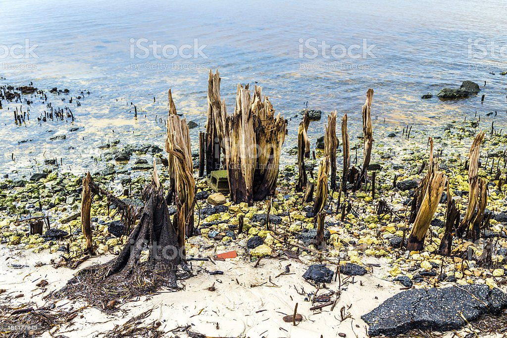 bizarre old rotten trees at the coast royalty-free stock photo