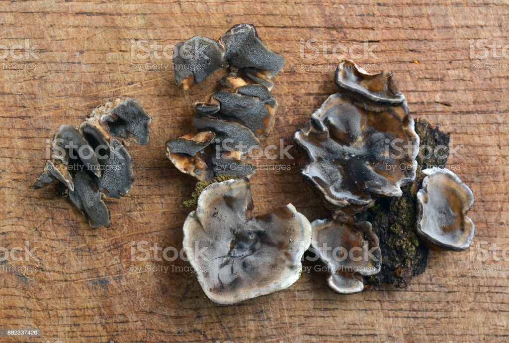 Bjerkandera adusta fungus stock photo