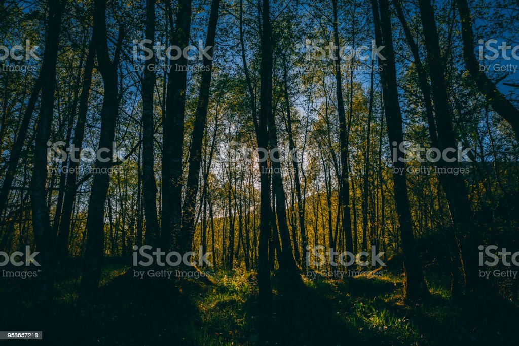 Bjørkeskogen stock photo