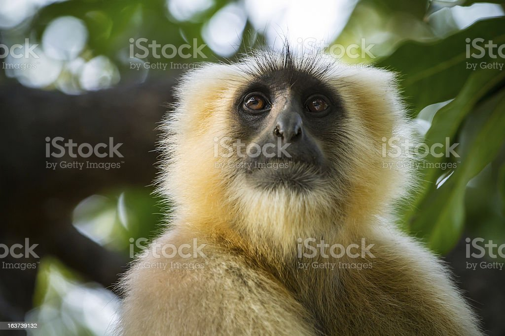 Blace faced monkey, grey langur sitting royalty-free stock photo