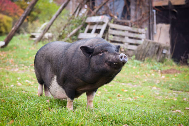 black a pig in the yard stock photo