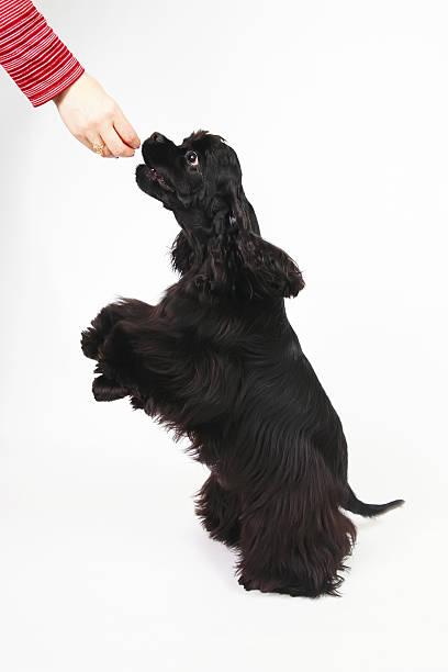 black american cocker spaniel dog posing indoors on back legs - amerikanischer cocker spaniel stock-fotos und bilder