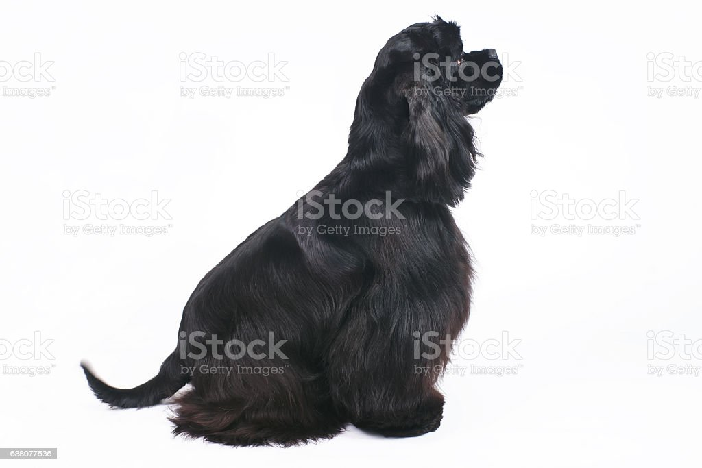 Black American Cocker Spaniel dog sitting indoors on white background stock photo