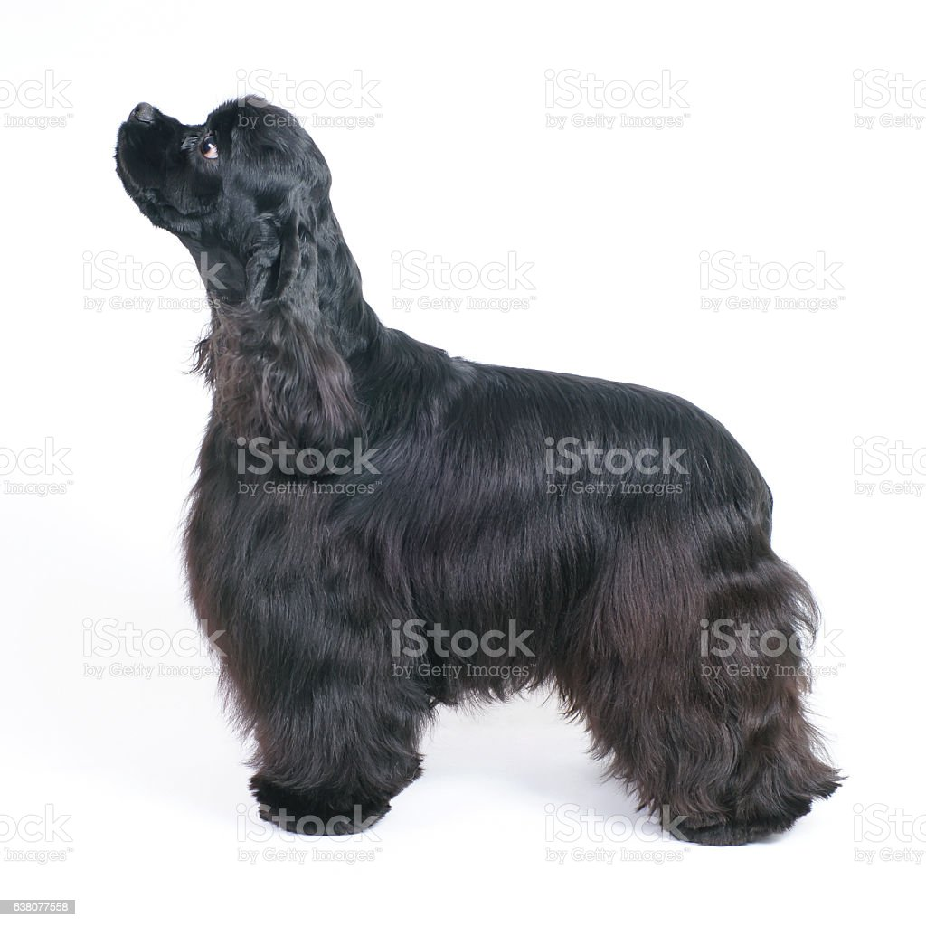 Black American Cocker Spaniel dog staying indoors on white background stock photo