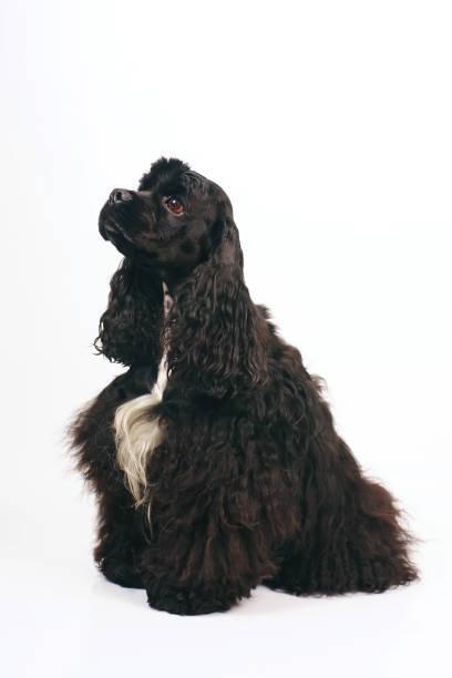 black american cocker spaniel hund mit einer weißen brust sitzen drinnen auf weißem hintergrund - amerikanischer cocker spaniel stock-fotos und bilder