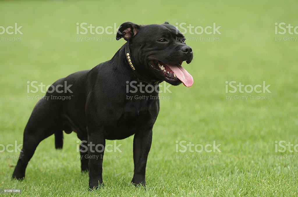 Black American stffordshire terrier portrait stock photo