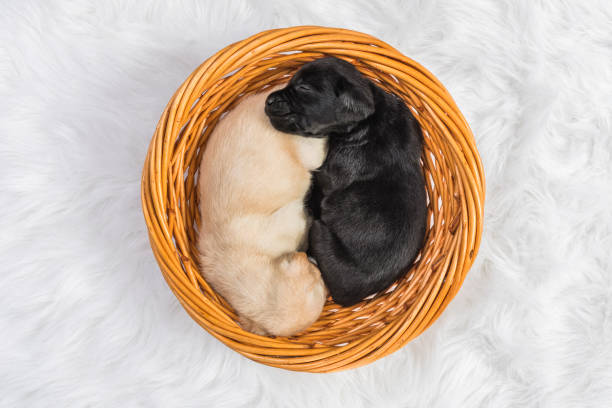 a black and a yellow labrador puppy sleeping in a wicker basket - 4 weeks old - yin yang symbol stock pictures, royalty-free photos & images