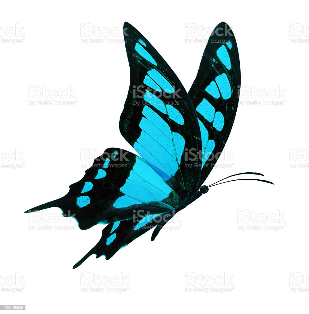 black and blue butterfly flying stock photo amp more