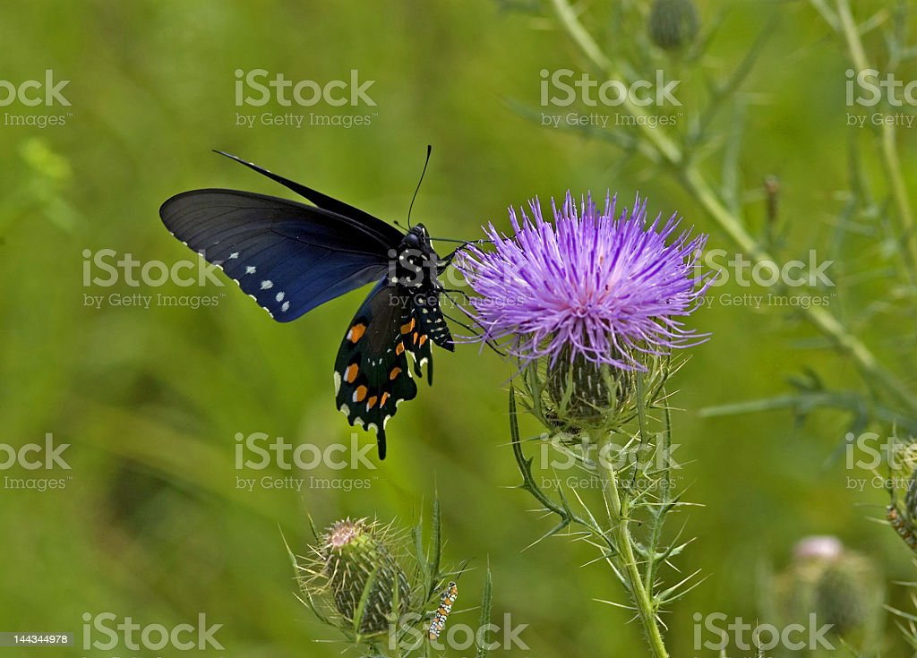 Black and Blue Butterfly on a Purple Thistle II stock photo
