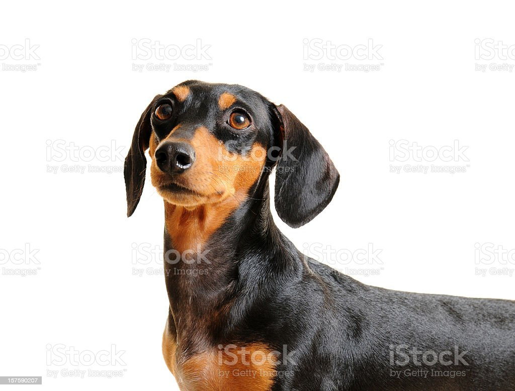 Black and Brown Dachshund Dog Isolated on white royalty-free stock photo