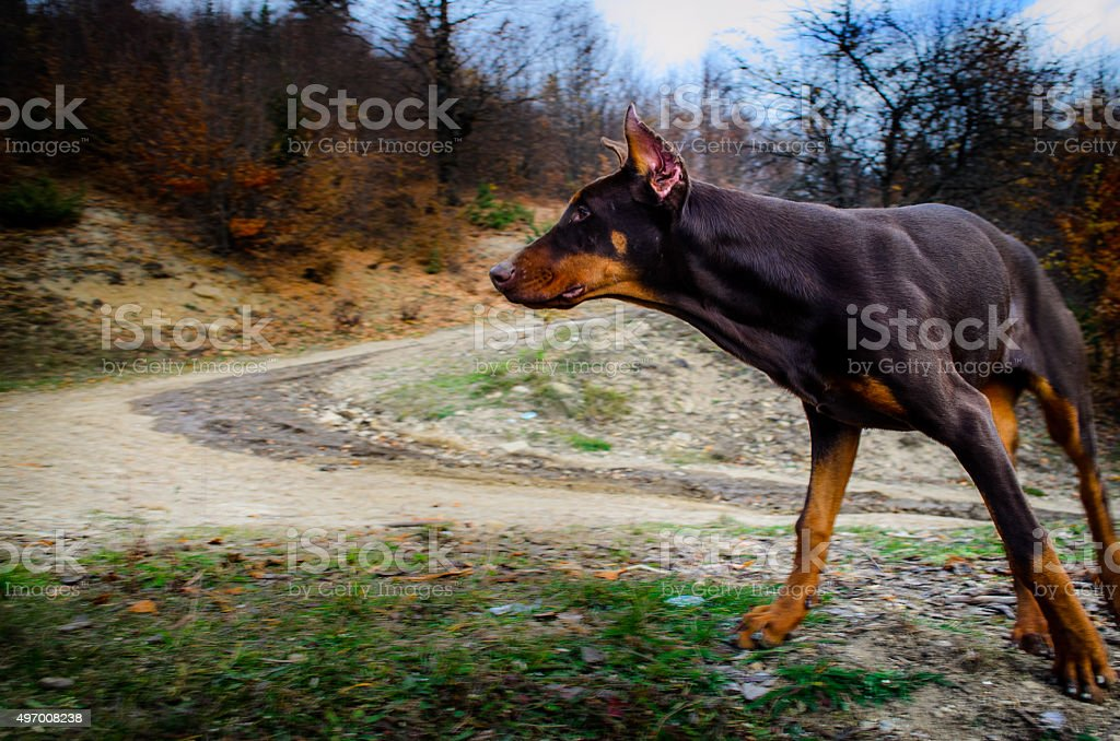 black and brown doberman in action outdoor stock photo
