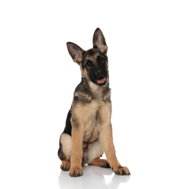 Black and brown german shepard sitting and panting picture id1127304390?b=1&k=6&m=1127304390&s=612x612&w=0&h=fxbquatgfdsvrdlsp9hholh4tch thlnmig9oi6dj k=