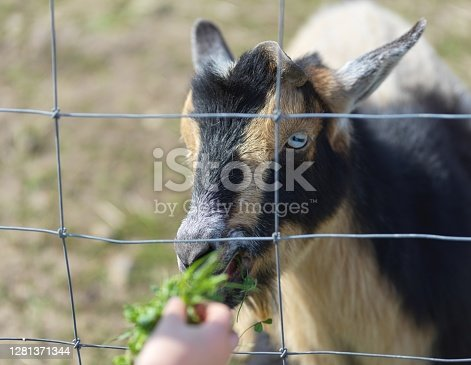 Black and brown goat behind wire fence behind fence being fed a piece of grass