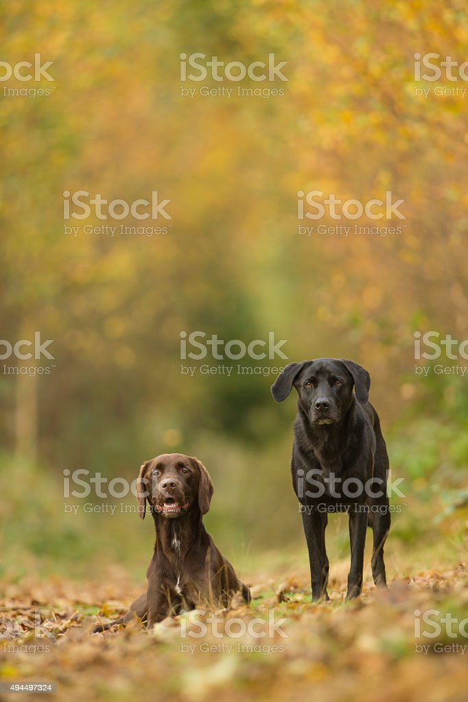 Black and brown labradors in woodland scene stock photo